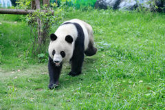 Panda walking Stock Photography