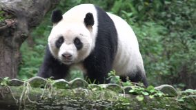 Panda walking towards his place to rest on a tree trunk in Chengdu China stock footage