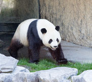 Panda walking Stock Image