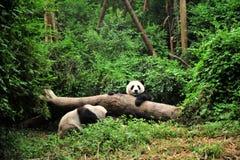 Panda, wenn Zeit gespielt wird Stockbilder