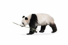 The panda. On the a white background Royalty Free Stock Image