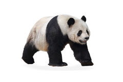 The panda. On the a white background Stock Image