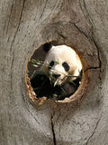 Panda Zoo Animal in Fence Knot Hole stock photography
