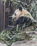 Panda at the zoo Royalty Free Stock Photo
