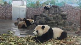 Panda at the zoo stock video
