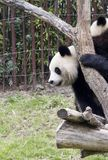 Panda in a zoo Royalty Free Stock Photos