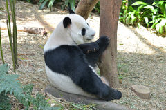 Panda in A Zoo. In Singapore Stock Images