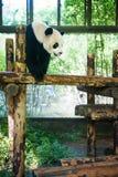 Panda; Royalty Free Stock Image