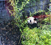 Panda in Zoological Gardens in Germany Royalty Free Stock Photography