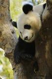 Pandabär Stockfoto