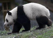 Pandabär Lizenzfreies Stockfoto