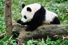 PandaBärenjunges, das Sichuan China spielt Stockfotografie