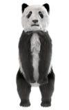 Pandabärnstellung Lizenzfreies Stockbild