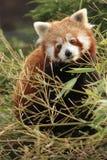 Pandabear Stockbilder