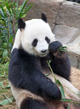 Pandabjörn Royaltyfri Fotografi