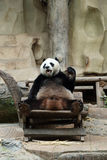 Pandabjörn som äter moroten Arkivfoton
