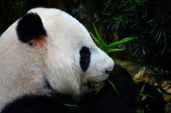 Pandabjörnen äter och tuggar gröna växter royaltyfria foton