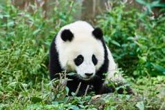 Pandabjörngröngölingar som spelar Sichuan Kina Fotografering för Bildbyråer