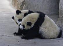 Pandagröngölingar royaltyfri fotografi