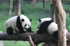 Pandagröngölingar i Chingqing Royaltyfria Foton