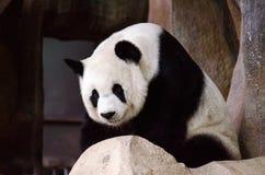 Pandaleben Lizenzfreies Stockfoto