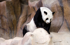 Pandaleben Stockfoto