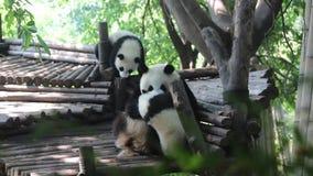 Pandamoeder en babypanda stock footage