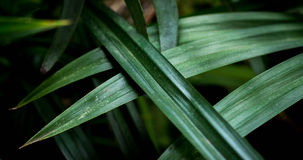 Pandan叶子鲜绿色 图库摄影