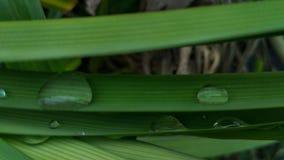 Pandan的新鲜的绿色长的叶子增长的露兜树amaryllifolius 库存照片
