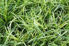 Pandan草在庭院里 免版税库存图片