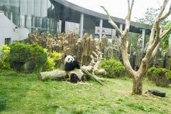 Pandan arkivbild
