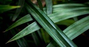 Pandan-Blätter sind hellgrün Stockfotografie