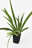 Pandan Feash Plant Leaves Royalty Free Stock Photos