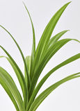 Pandan Feash Plant Leaves Royalty Free Stock Images