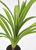 Pandan Feash Plant Leaves Royalty Free Stock Photo