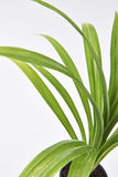Pandan Feash Plant Leaves Stock Image