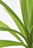 Pandan Feash Plant Leaves Royalty Free Stock Image