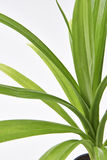 Pandan Feash Plant Leaves Stock Photo
