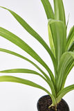 Pandan Feash Plant Leaves Stock Photography