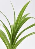 Pandan Feash rośliny liście Obrazy Royalty Free