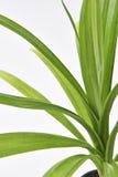 Pandan Feash rośliny liście Zdjęcie Stock