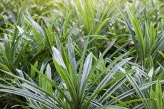 Pandan fresco é uma planta que tenha muitos benefícios, tais como ervas, para fazer o alimento, os doces, as bebidas e o perfumad imagem de stock royalty free