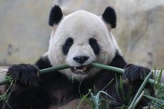 Pandan i Shanghai lösa Snimal parkerar royaltyfri foto