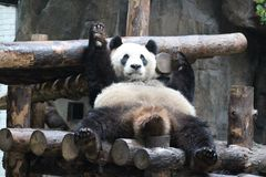 Pandan i Shanghai löst djurt parkerar royaltyfri foto
