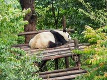 Pandan kopplar av på pandamitten i Chengdu, Kina Fotografering för Bildbyråer