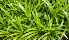 Pandan leaf Stock Photos
