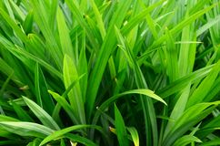 Pandan leaf Stock Photo