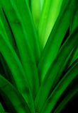 Pandan leaves. Growing from its stem Royalty Free Stock Photo
