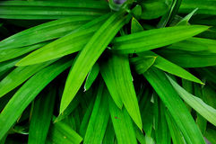 Pandan leaves Stock Photos