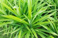 Pandan Leaves , Thai Herb Stock Image